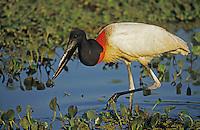Jabiru Stork(Jabiru mycteria), adult feeding, Pantanal, Brazil, South America
