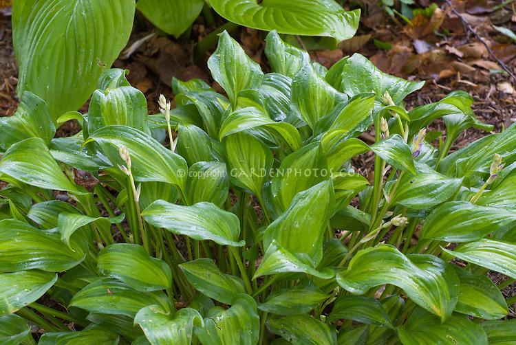 Hosta Ani Machi in bud (late blooming)