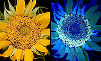 SUNFLOWER UNDER UV LIGHT<br /> Comparison of Sunflower Pollen<br /> A sunflower is studied under normal light (left) and UV light at right. The pollen is seen as the bright, crescent-shape.