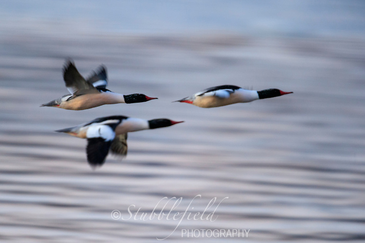 Common Merganser (Mergus merganser americanus), North American subspecies, males in flight at dawn over the Hudson River off Verplanck Point in Verplanck, New York.
