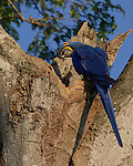 A Hyacinth Macaw, the largest flying parrot, sitting outside his nest in a big old tree in the Pantanal area of Brazil, displaying his bright blue back, wing and tail feathers beautifully. His head is turned in the typical, quizzical way parrots do.