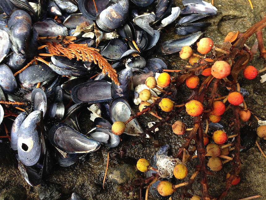 Pacific Madrone (Arbutus menziesii) Berries and Pacific blue mussel (Mytilus edulis) Shells, Tumbo Island, Gulf Islands National Park Reserve, British Columbia, Canada