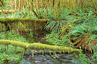 rainforest, Olympic National Park, Olympic Peninsula, Washington, USA