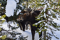 A Cow Moose near Grand Lake, Colorado is framed by winter snow clinging to the trees around her.