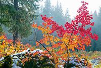 Vine Maple, Acer circinatum, Santiam Trail, McKenzie River National Wild and Scenic River, Willamette National Forest, Oregon