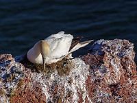 Basstölpel (Morus bassanus), Vogelfelsen westliche Steilküste, Helgoland Insel Helgoland, Schleswig-Holstein, Deutschland, Europa<br /> gannet (Morus bassanus), bird cliff, western cliff coast, Helgoland island, district Pinneberg, Schleswig-Holstein, Germany, Europe
