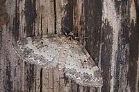 Kleiner Lappenspanner, Pterapherapteryx sexalata, Small Seraphim, Spanner, Geometridae, looper, loopers, geometer moths, geometer moth