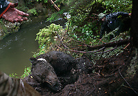 Rod Flynn and Lavern Beier of Fish and Game are doing brown bear research in the Unuk River. With a foot snare, they captured a 600 pound 15 or 16 yr old male in Kingsbury Creek. It was in a precarious position over the creek and they had to make a nest of branches so he wouldn't fall when waking. The Unuk which means Dream River in Tlingit, is a new river continuing to cut new channels. Several bears were tagged radio collared last year and they are being recaptured in snares so their batteries can be replaced...all will drop off automatically in a couple of weeks.  They are tracking the bears movement and habitat use.  The bears captured on this trip had not been caught before.  It is presumed they are traveling through Canada (14 miles away) and back down so it is a complicated issue for hunting management.
