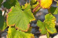 Chateau Mire l'Etang. La Clape. Languedoc. Vine leaves. France. Europe.