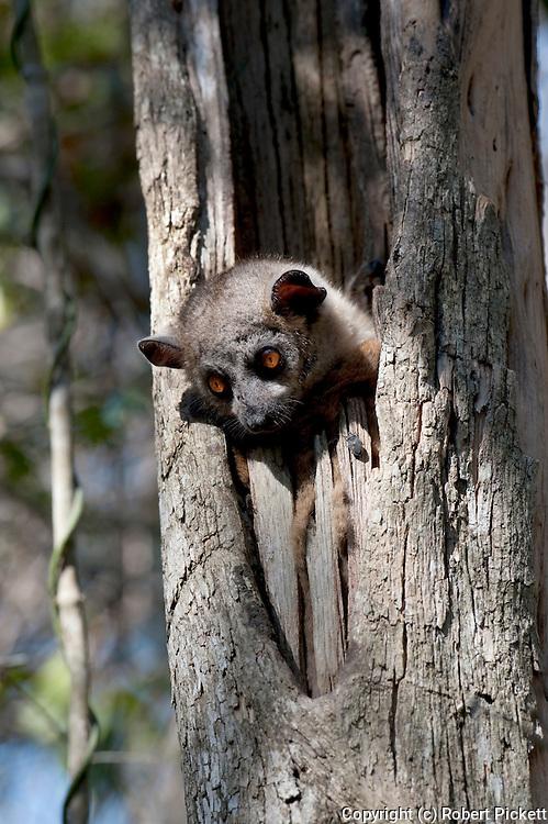 Lesser Weasel Lemur, Lepilemur ruficaudatus, Zombitse Park, Madagascar, Red Tailed Sportive Lemur, Appendix I of CITES