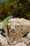 Male Iberian Emerald Lizard (Lacerta schreiberi), Portugal.