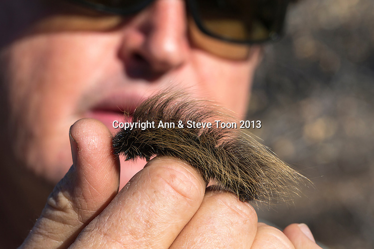 Bruno Nebe, reserve owner and tour leader, showing porcupine caterpillar, Mundulea reserve, Otavi, Namibia, May 2013
