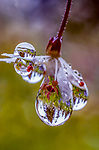 Dewdrops coat a flower. The water droplets reflect the surrounding meadow and forest in Washington's Cascade Range.