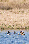 Brazoria County, Damon, Texas; two male and five female ring-necked ducks floating on the surface of the slough in late morning sunlight