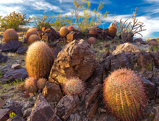 Barrel Cacti, Indian Springs, Mojave National Preserve, California