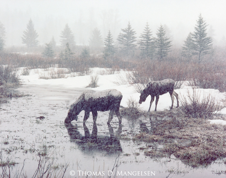 During a winter snowfall, a cow moose and her calf get a drink at the edge of a river in Grand Teton National Park, Wyoming.