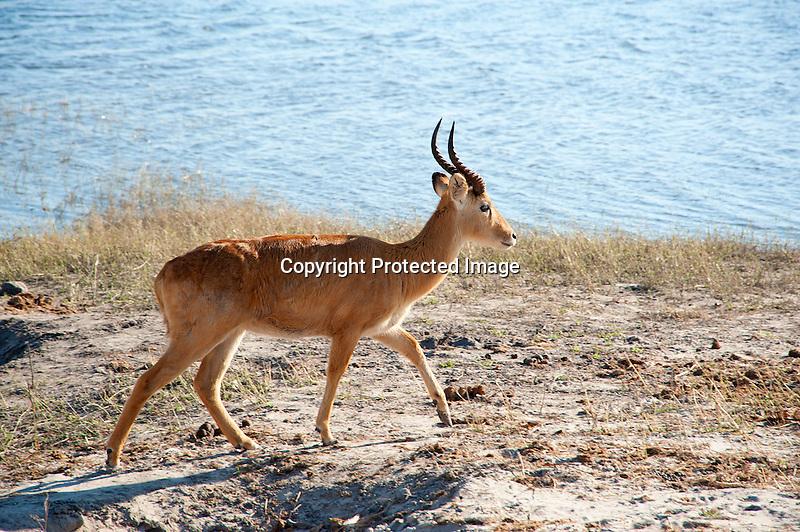 Male Puku by Chobe River in Botswana, Africa