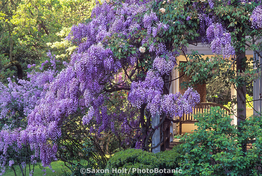 Spring flowering wisteria vine on porch with bench.  Credit Michael Bates