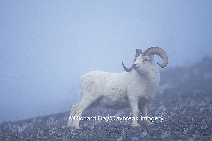 01989-00112 Dall sheep (Ovis dalli) rams in fog Yukon   Canada