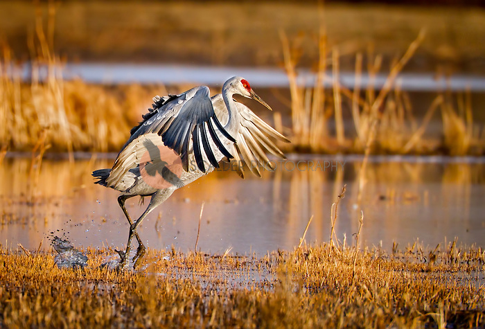 Sand Hill Crane landing  in golden light at sunset, feet splashing in water
