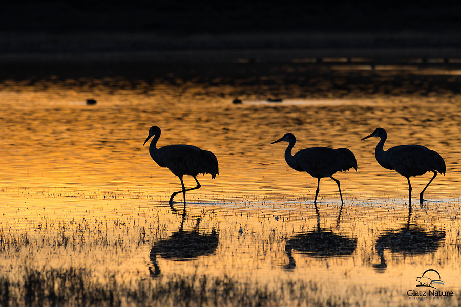 "Golden evening light created a beautiful reflection on a pond. A group of Sandhill Cranes sauntered right into the frame at the perfect moment. Peaceful and serene scene was a real reward for waiting for the ""good light.""<br />  <br /> Bosque del Apache National Wildlife Refuge, New Mexico."