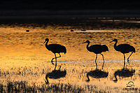 Golden evening light created a beautiful reflection on a pond. A group of Sandhill Cranes sauntered right into the frame at the perfect moment. Peaceful and serene scene was a real reward for waiting for the &quot;good light.&quot;<br />  <br /> Bosque del Apache National Wildlife Refuge, New Mexico.