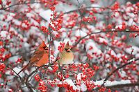 01530-18415 Northern Cardinals (Cardinalis cardinalis) male & female in Common Winterberry (Ilex verticillata) in snowstorm, Marion Co. IL