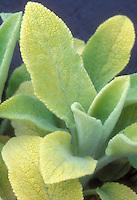 Golden soft fuzzy foliage of Stachys byzantina Primrose Heron, perennial plant lamb's ears