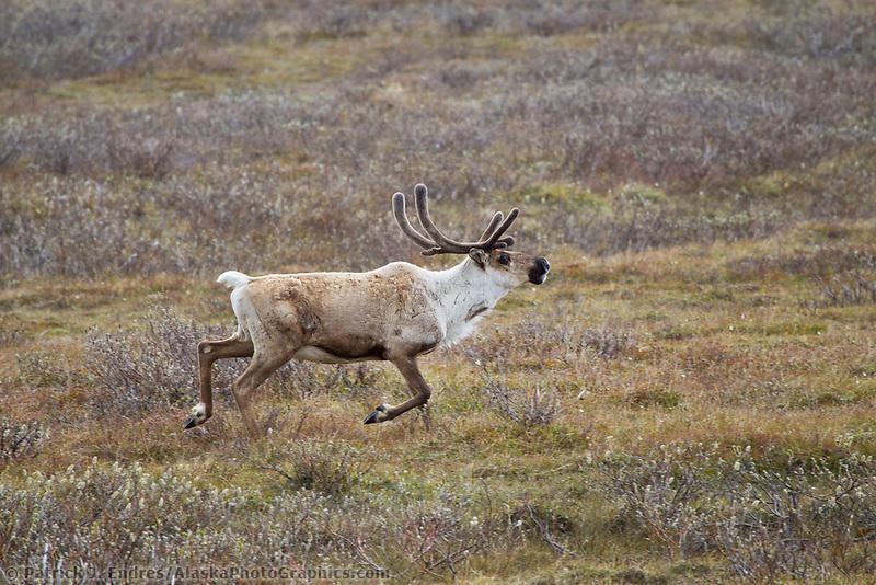 Bull caribou runs across the arctic summer tundra, Alaska.
