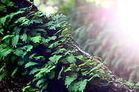 sunlight bursting and lighting up a fern covered tree limb