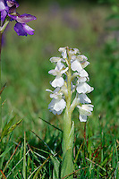 GREEN-WINGED ORCHID, WHITE FORM Orchis morio (Orchidaceae) Height to 40cm. Perennial of undisturbed grassland. FLOWERS vary in colour from plant to plant, ranging from pinkish purple to almost white; upper petals in particular are marked with dark veins and are often suffused green, while the lip has a red-dotted, pale central patch. Borne in spikes (Apr-Jun). FRUITS are egg-shaped. LEAVES are glossy green, unmarked and appear as a basal rosette, and sheathing the stem. STATUS-Locally common in central and S England, S Wales and central Ireland.