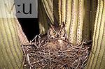 Great Horned Owl (Bubo virginianus) Arizona, USA