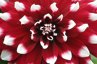 Dramatic white tips of a red flower, Ireland