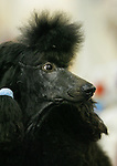 """Vivian"", a black standard poodle is groomed and ready for competition at the Reliant Dog Show. The first day of the Reliant Dog Show was Thursday in Reliant Center.  Thursday, July 17, 2008, in Houston. ( Steve Campbell / Chronicle)"