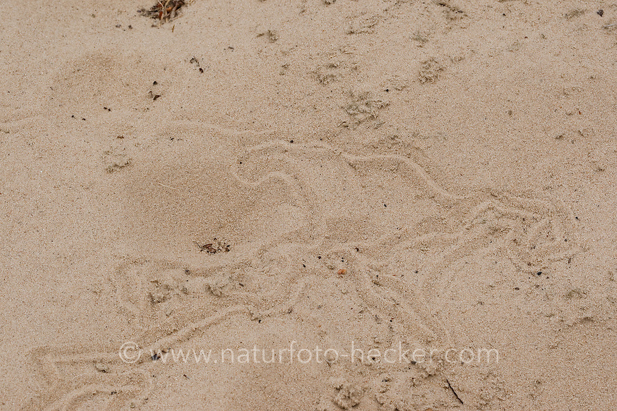 Ameisenlöwe, Ameisen-Löwe, Ameisenjungfer, Myrmeleontidae, Fangtrichter und Spuren im Sand, Larve, antlions, antlion, ant-lion