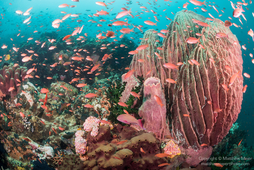 Verde Island, Oriental Mindoro, Philippines; scalefin anthias fish swimming around a large barrel sponge on the reef