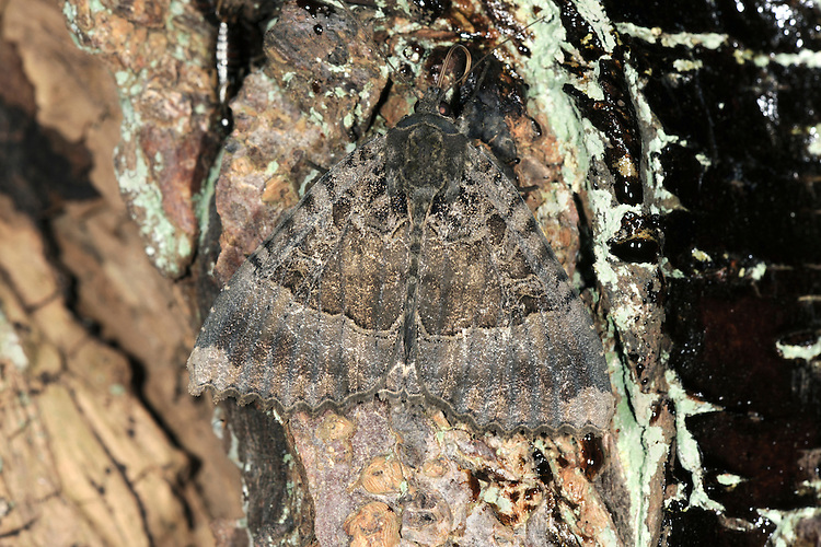 Old Lady Mormo maura Length 33-35mm. A broad-winged, subtly attractive moth that rests with its wings held flat; it is well camouflaged when resting on weathered fence panels. Sometimes comes indoors through open windows. Adult has grey-brown forewings with bands of dark brown and lilac-grey. Flies July-August. Larva feeds on deciduous shrubs and trees, notably Blackthorn. Widespread and fairly common in southern and central Britain; much more local further north.
