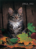 Carl, ANIMALS, photos(SWLA052,#A#) Katzen, gatos