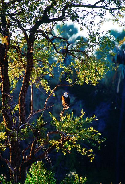 African  Fish Eagle bird perched on  trees in the Okavango Delta, Botswana