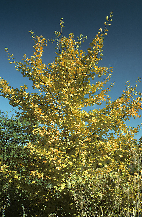 Maidenhair Tree Ginkgo biloba (Ginkgoaceae) HEIGHT to 28m<br /> Tall, slender to slightly conical deciduous tree with one main trunk. BARK Grey-brown, corky and deeply ridged in mature trees. BRANCHES spreading with long, greenish-brown shoots, which in turn bear shorter brown shoots. LEAVES Yellowish-green to dark-green, fan-shaped, divided at least once and up to 10-12cm long; radiating veins reach margins. Leaves on long shoots widely separated; those on the short shoots close-packed. FLOWERS Male catkins yellow, in small upright clusters; female flowers grow singly on a 5cm-long pedicel. Flowers seldom seen in Britain; most mature trees in our region are male. FRUITS to 3cm long and usually ovoid, containing a single seed inside a harder shell. Green at first, yellowing with age, becoming foul-smelling. STATUS AND DISTRIBUTION Native of Chekiang Province of China. Endangered in the wild but widely cultivated.