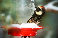 597890005 a wild acorn woodpecker melanerpes formicivorus perches on a snow covered hummingbird feeder during a spring snowstorm in ramsey canyon arizona
