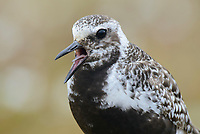 Female Black-bellied Plover (Pluvialis squatarola) in breeding plumage giving alarm call. Yukon Delta National Wildlife Refuge, Alaska. June.