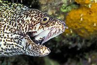 spotted moray eel, Gymnothorax moringa, Bonaire