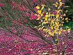 Seattle, Washington:<br /> Kubota Gardens city park. Fall colors and fog, dogwood, burning bush