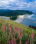 Tillamook County, OR: Hillside of foxglove (Digitalis purpurea) blooming on Cascade Head above the mouth of the Salmon River and the Oregon coast headlands