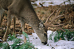 Mule Deer Buck foraging for food in winter, Yosemite Valley, Yosemite National Park, California