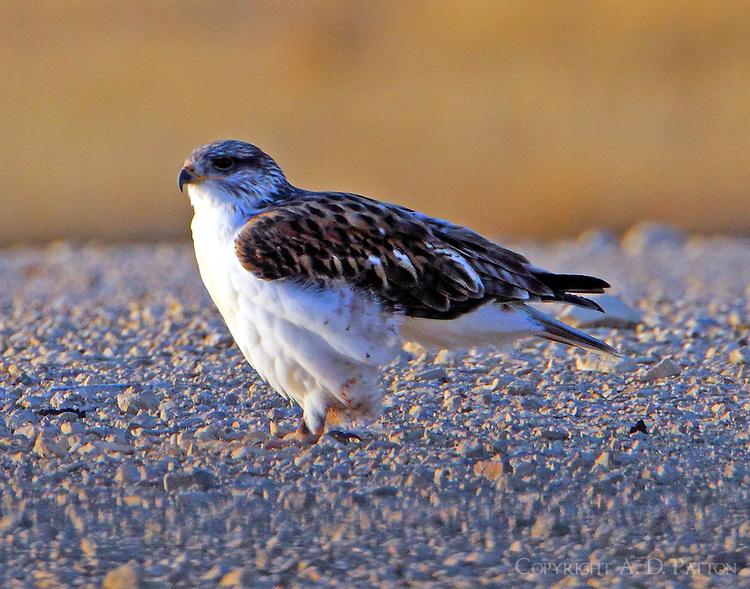 Juvenile light-morph ferruginous hawk. Bird is now standing up raedy to fly.
