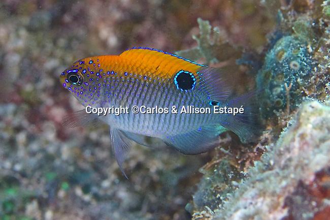 Stegastes adustus, Dusky damselfish, juvenile, FL Keys