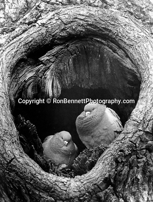 Pigeons huddle together in a tree to stay warm on a cold Washington DC day, birds keep warm in a cold winter, birds warm up in tree, birds, Fine art photography by Ron Bennett © Copyright,