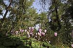Israel, Shephelah, Cyclamen flowers in Tzora forest
